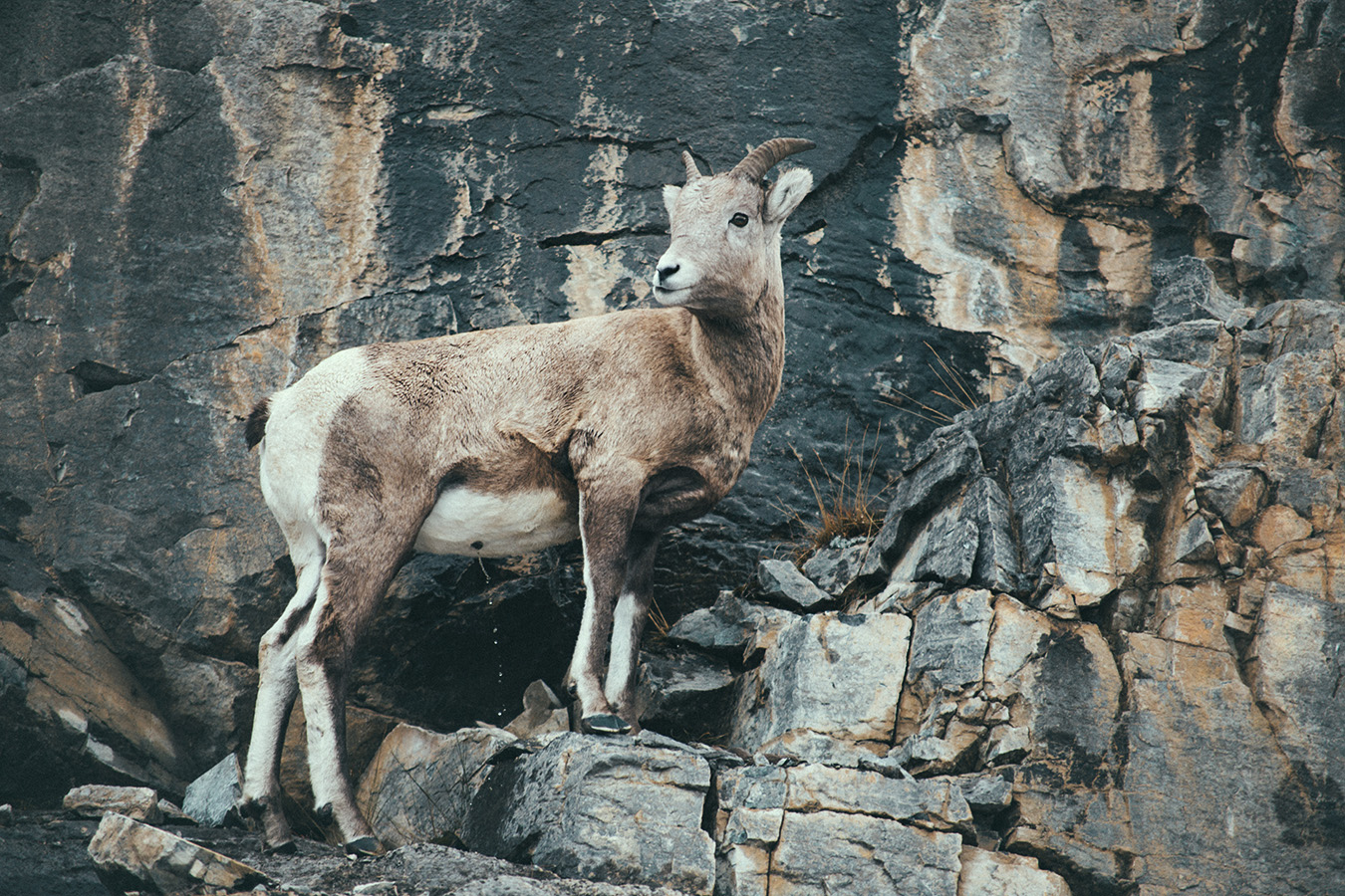 Bighorn sheep, Icefields Parkway, Kanada