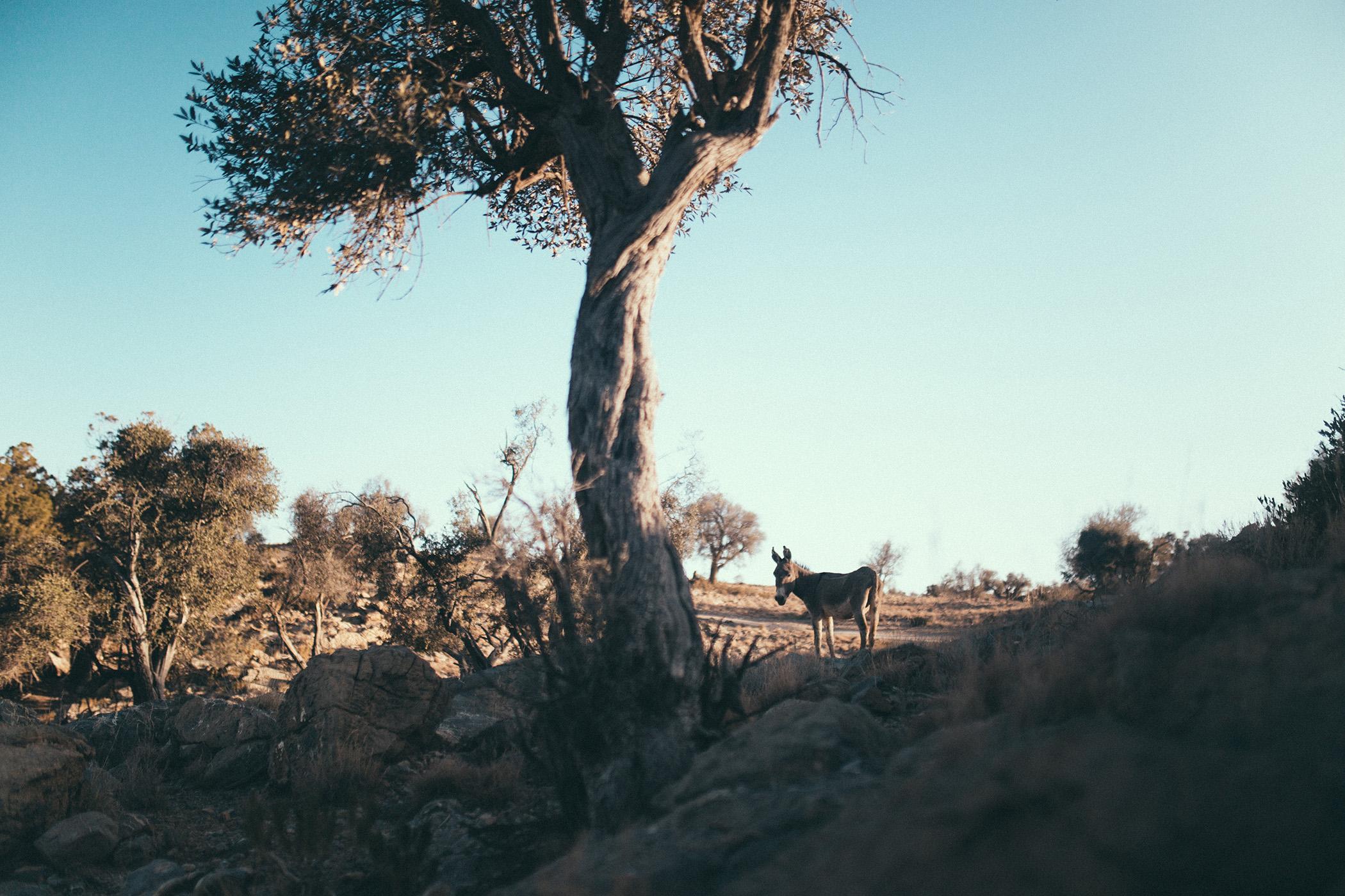 Dziki osiołek, Jabal Akhdar, Oman