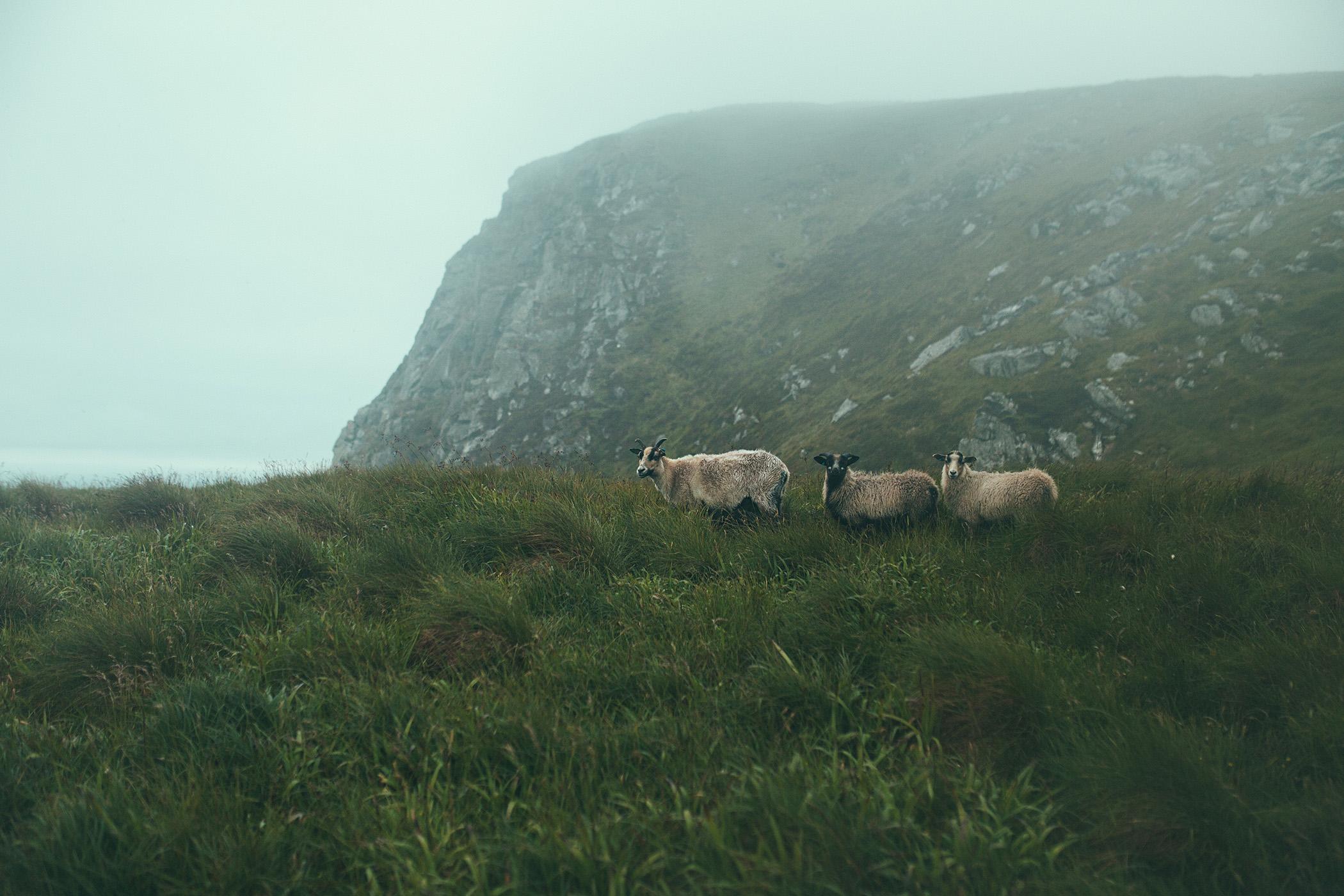 Norwegia, owce