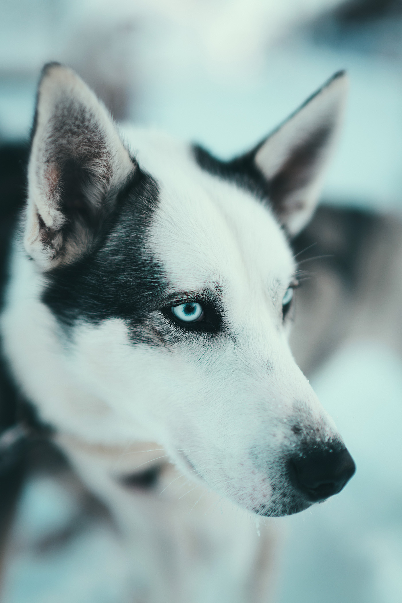 Przejechać się psim zaprzęgiem! Alaskan husky