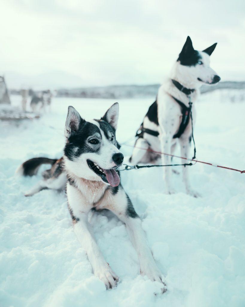 Alaskan huskies, dogsledding